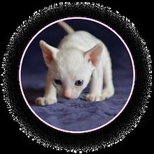 Белый котёнок породы Уральский рекс