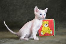Сколько стоит котёнок? Где купить?