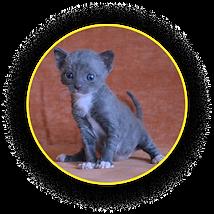 Котёнок уральского рекса черного окраса