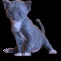 Чёрный котёнок породы уральский рекс