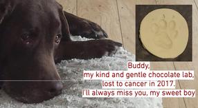 Buddy, beloved chocolate lab