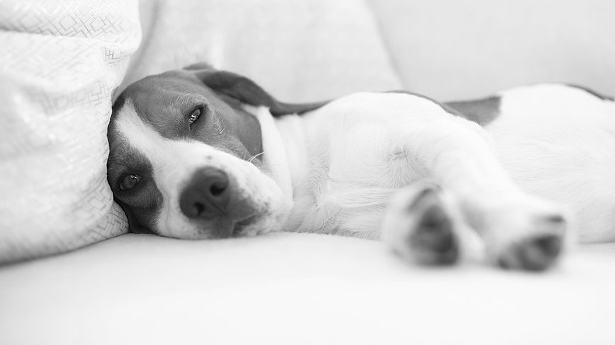 dog-on-a-sofa-in-funny-pose-beagle-tired