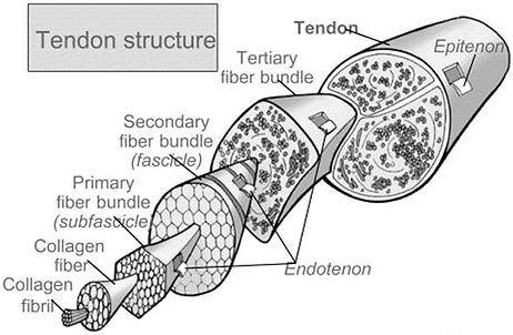 Horse tendon structure improved on collagen supplement