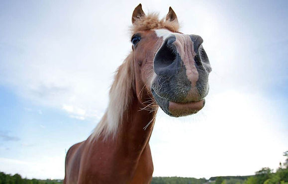 Horse with flared nostrils