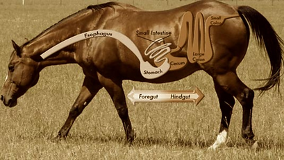 gastrointestinal passage way in the horse