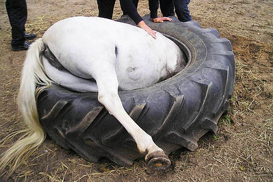 Horse stuck in tire