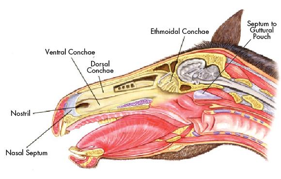 Equine respiratory anatomy