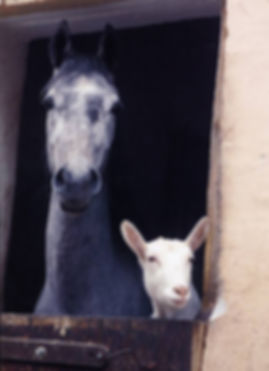 Horse in stall rest with goat friend