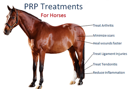 PRP treatment locations on horse