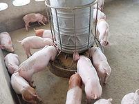 fressende schweine.jpg