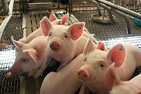weaned pigs.jpg