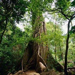 Rincon de la Vieja Ficus.