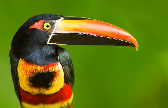 Tucan Costa Rica