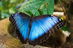 Blue Morpho Butterfly Costa Rica