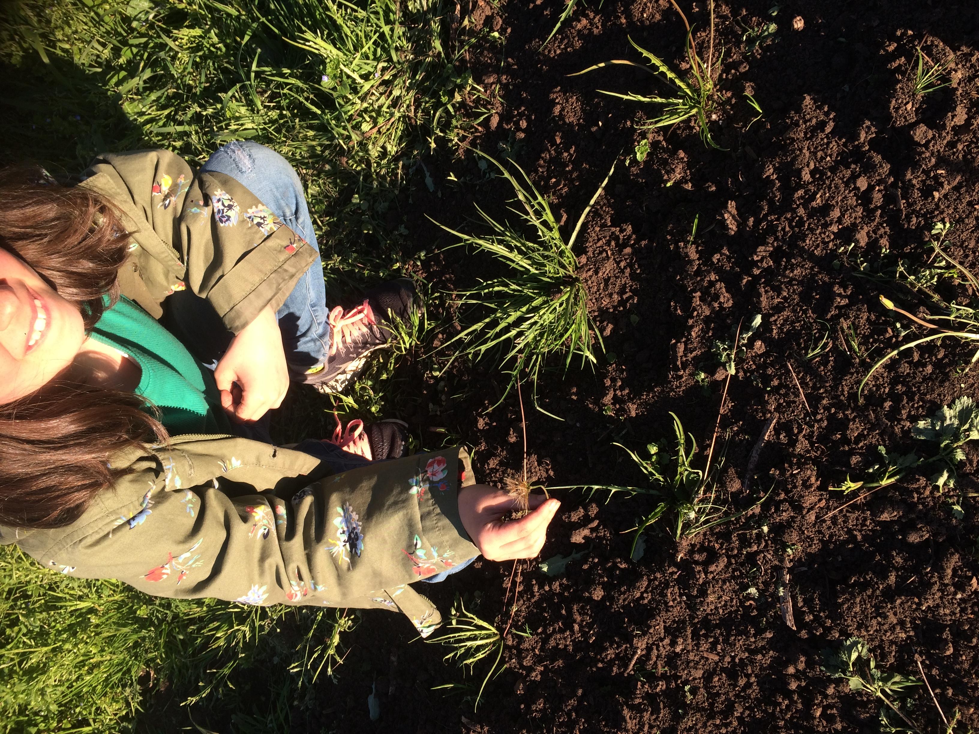 Saving myrnong seeds