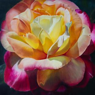 Tweekleurige roos
