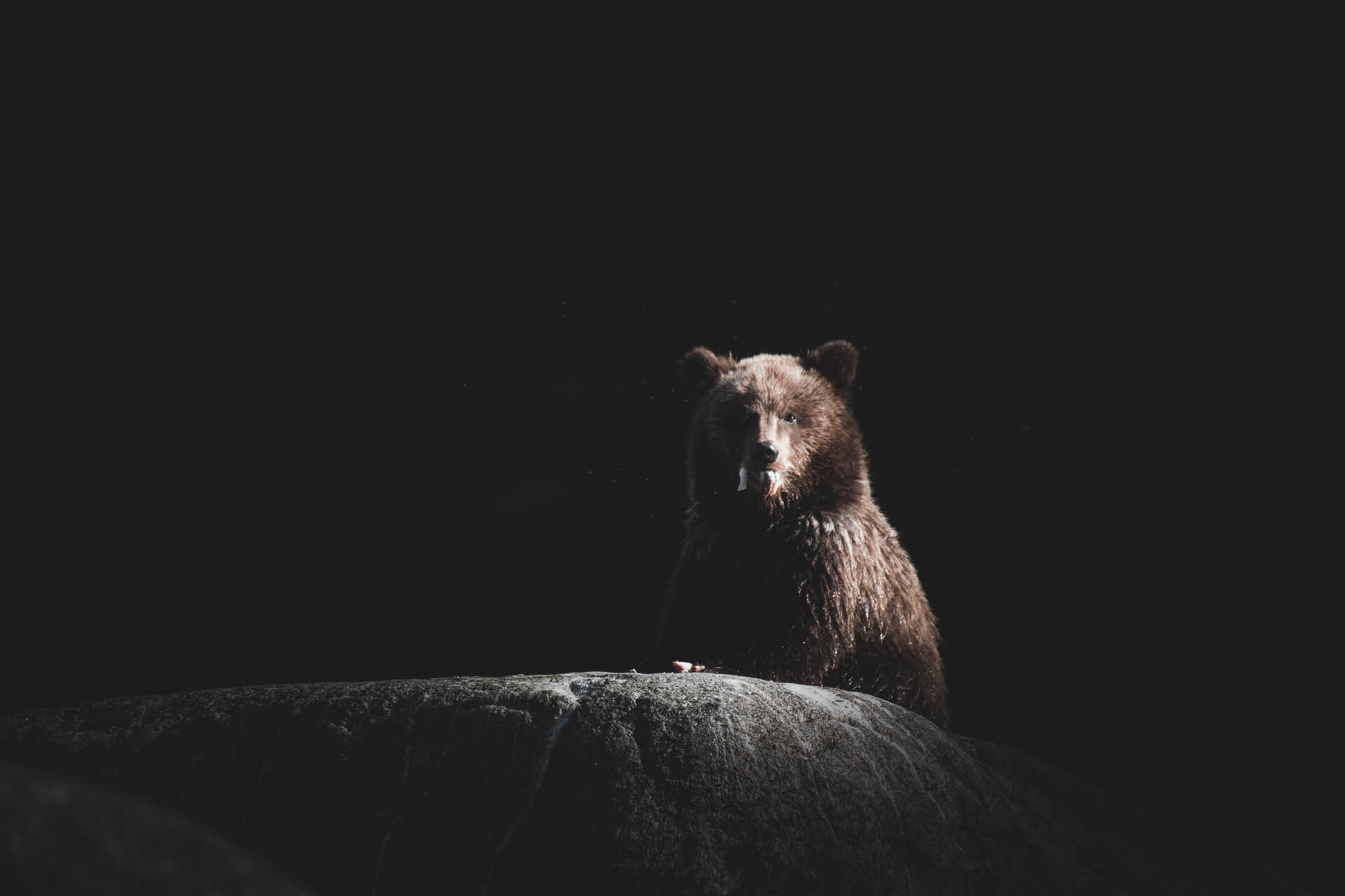 A young Grizzly eating salmon on a stone