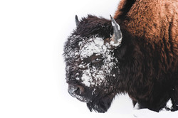 The Bull in the Snow