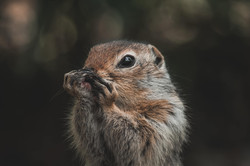 An arctic Ground Squirrel licks its Paws