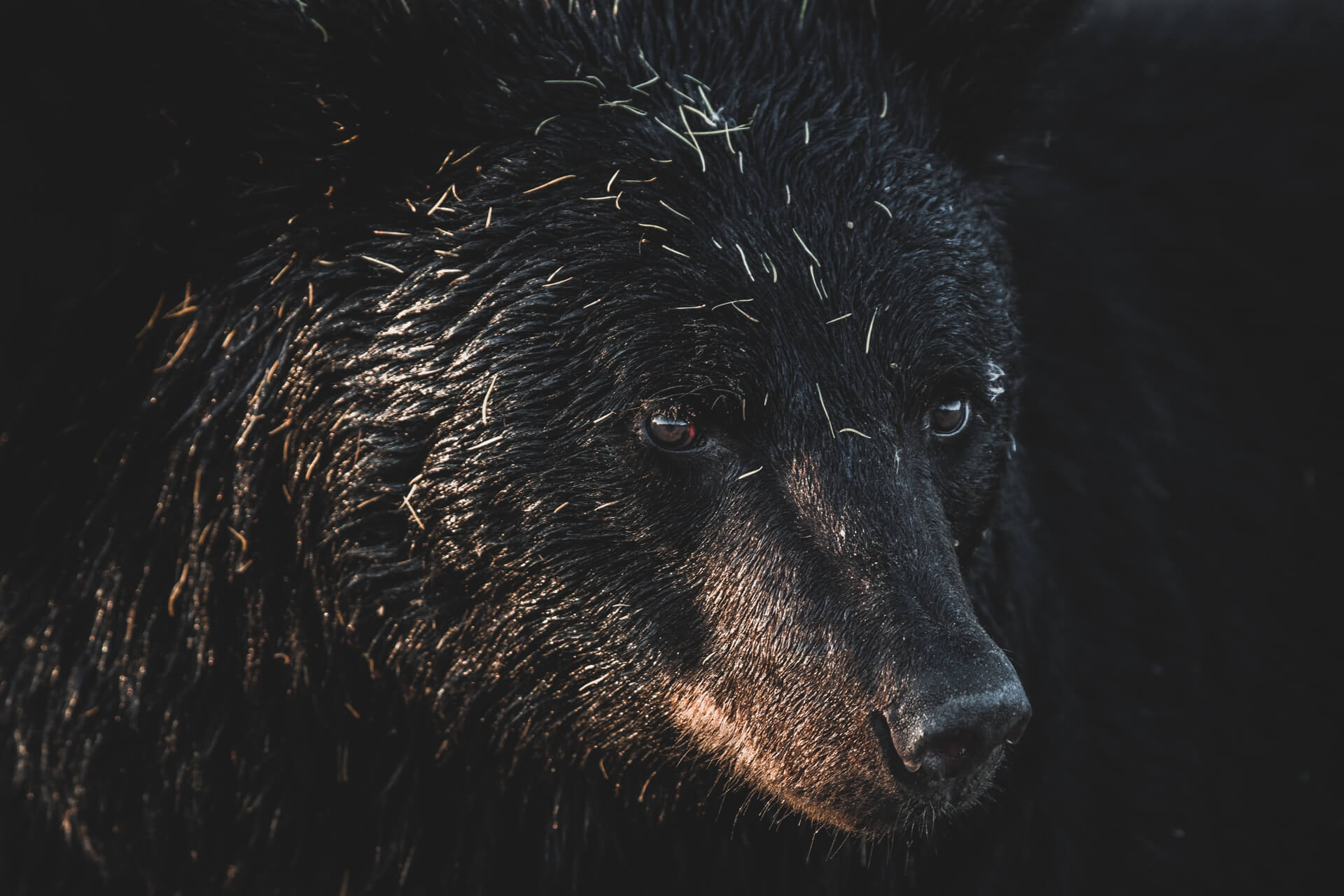 Portrait of a Blackbear
