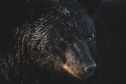 Portrait of a Blackbear