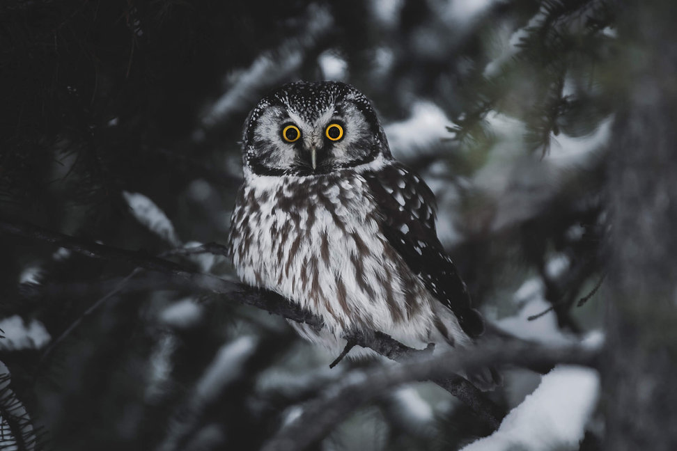 A boreal owl with intense yellow eyes sits on a pine tree branch