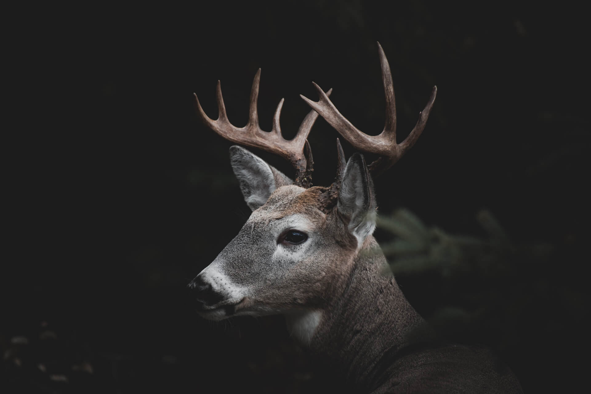 A White tailed deer in the dark forest