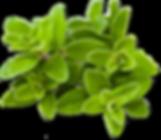 marjoram-botanical.png