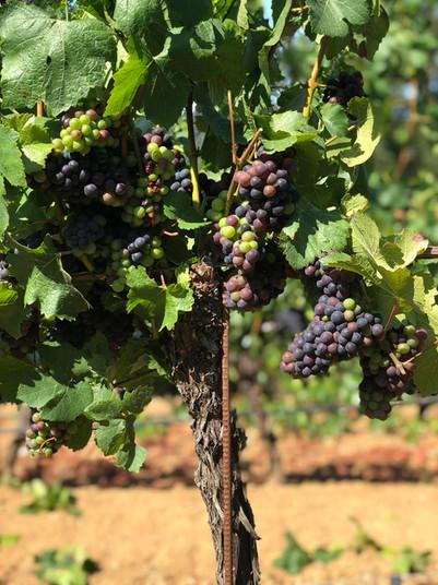 Via Giusti Pinot Grapes on Vine
