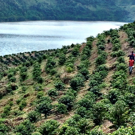 Young Coffee tees in Nyaruzina
