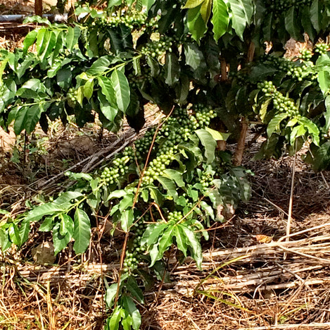 Early Coffee Crop