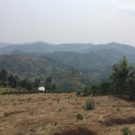 Newly planted coffee trees at Jarama