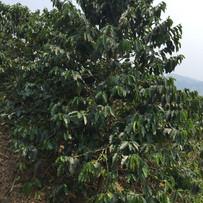 Grown Coffee tree in Jarama