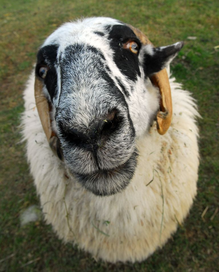 F farm sanctuary sheep