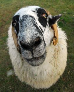 F farm sanctuary sheep