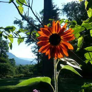 sunflower with woods and mountain views in the background