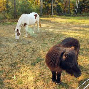 a horse and a pony grazing in a field