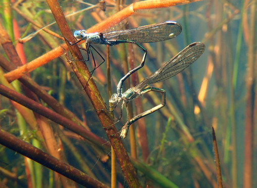 What is the oviposition process for aquatic insects?