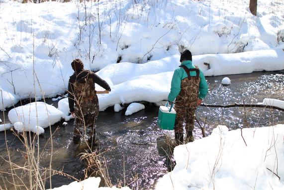 Do humans affect trout movement?