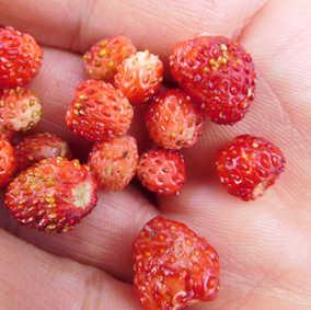 Picking wild strawberries
