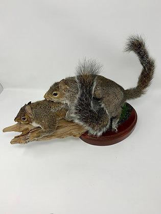 Taxidermy Humping Squirrels