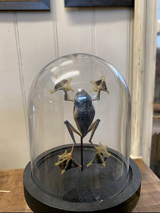 Taxidermy Spread Frog