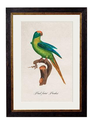 Peach Fronted Parakeet Rectangle Art