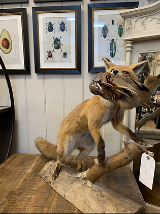 Taxidermy Fox with Partridge