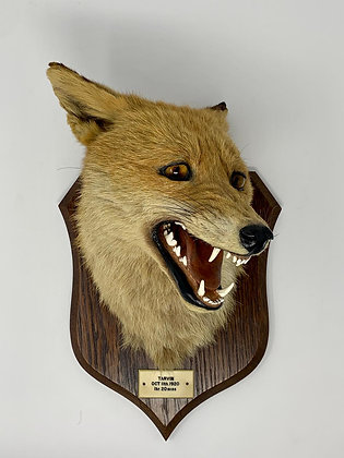 Taxidermy Tarvin Fox Head