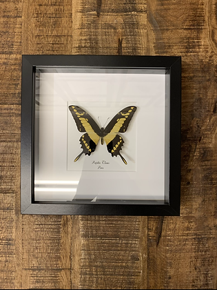 Taxidermy Black and Yellow Framed Butterfly