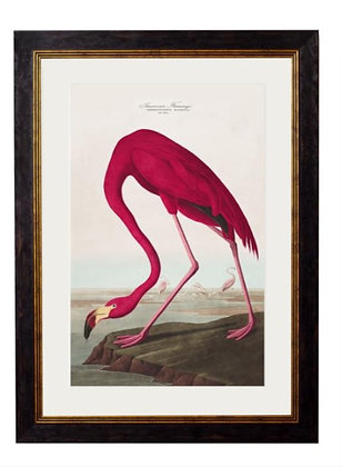 The American Flamingo