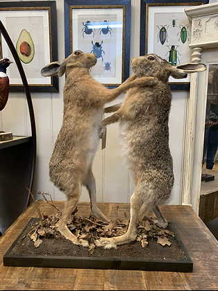 Taxidermy Boxing Hares