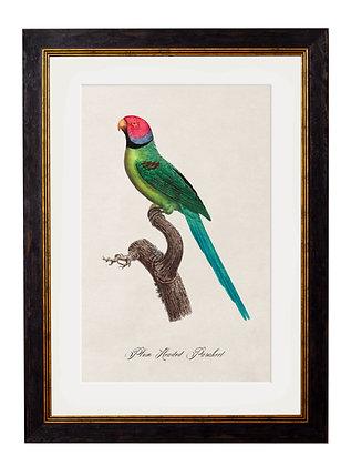 Plum Headed Parakeet Rectangle Art