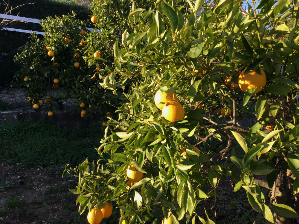 More Than Marmalade. Thoughts on Andalusian Oranges and a Recipe